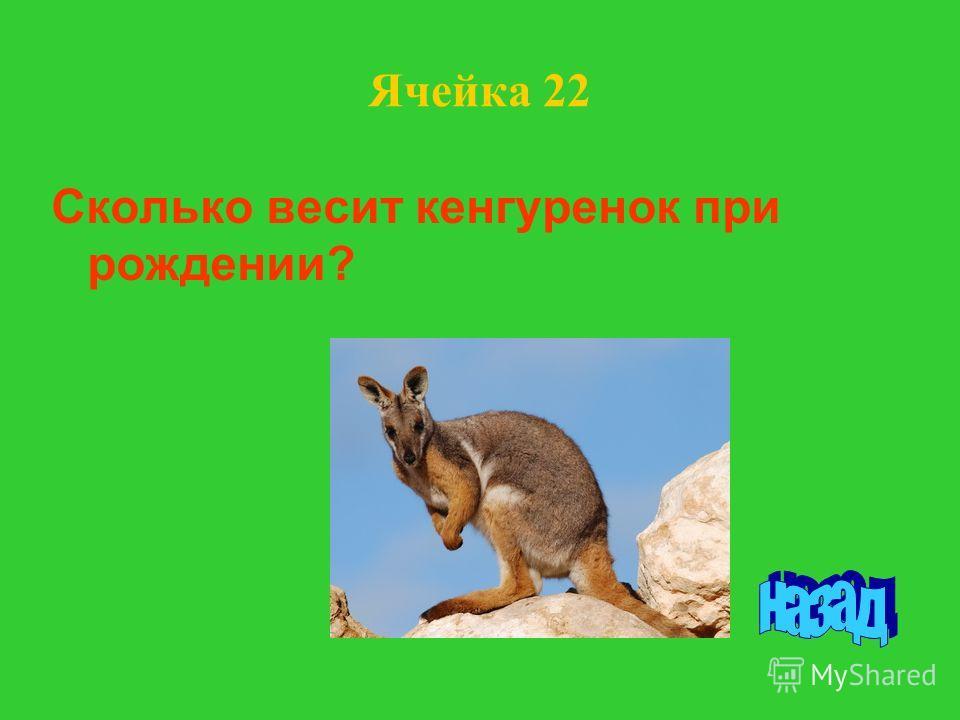 Ячейка 22 Сколько весит кенгуренок при рождении?
