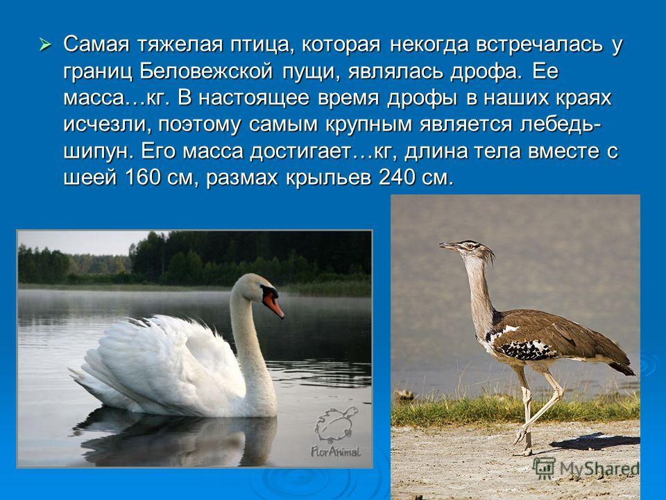 Самая тяжелая птица, которая некогда встречалась у границ Беловежской пущи, являлась дрофа. Ее масса…кг. В настоящее время дрофы в наших краях исчезли, поэтому самым крупным является лебедь- шипун. Его масса достигает…кг, длина тела вместе с шеей 160