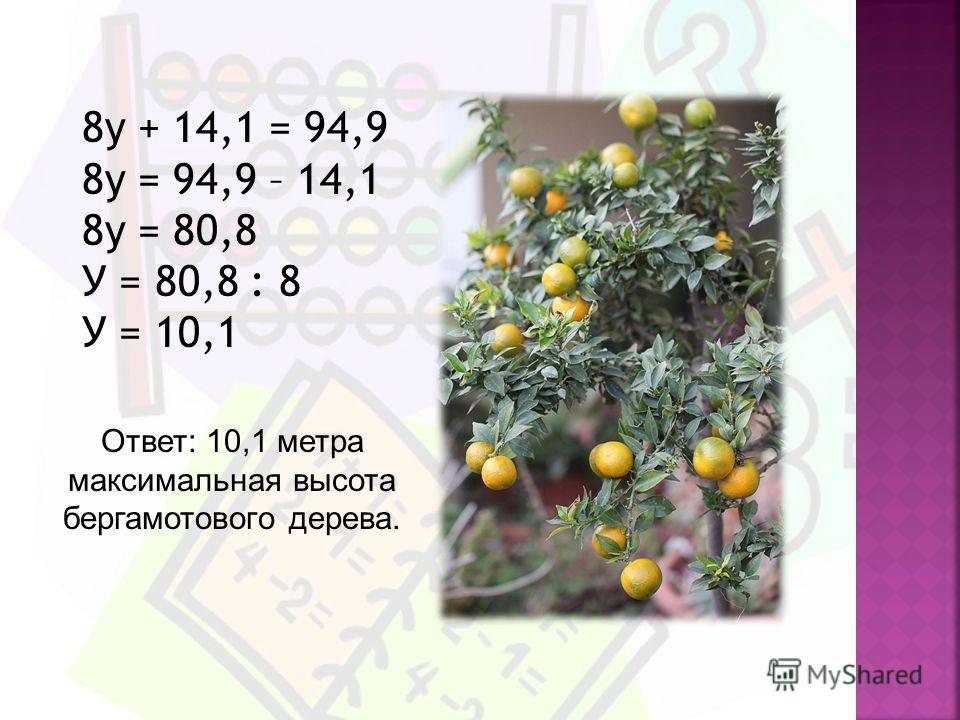 8у + 14,1 = 94,9 8у = 94,9 – 14,1 8у = 80,8 У = 80,8 : 8 У = 10,1 Ответ: 10,1 метра максимальная высота бергамотового дерева.