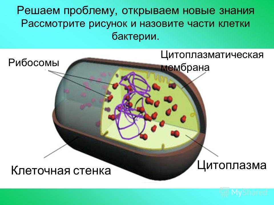 Решаем проблему, открываем новые знания Рассмотрите рисунок и назовите части клетки бактерии. Цитоплазма Цитоплазматическая мембрана Клеточная стенка Рибосомы