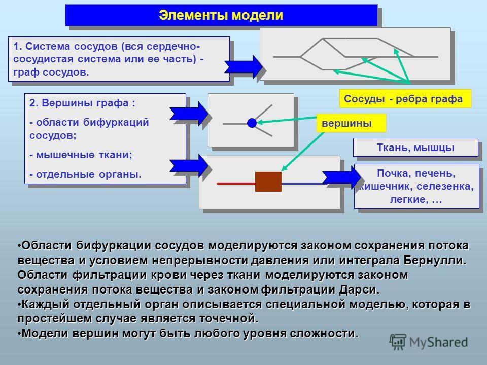 Сосуды - ребра графа Элементы модели 1. Система сосудов (вся сердечно- сосудистая система или ее часть) - граф сосудов. 2. Вершины графа : - области бифуркаций сосудов; - мышечные ткани; - отдельные органы. 2. Вершины графа : - области бифуркаций сос