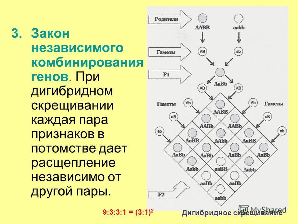 26 3.Закон независимого комбинирования генов. При дигибридном скрещивании каждая пара признаков в потомстве дает расщепление независимо от другой пары. Дигибридное скрещивание 9:3:3:1 = (3:1) 2