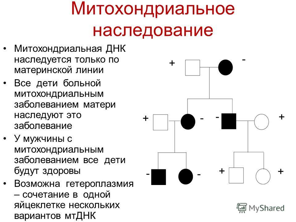Митохондриальное наследование Митохондриальная ДНК наследуется только по материнской линии Все дети больной митохондриальным заболеванием матери наследуют это заболевание У мужчины с митохондриальным заболеванием все дети будут здоровы Возможна гетер