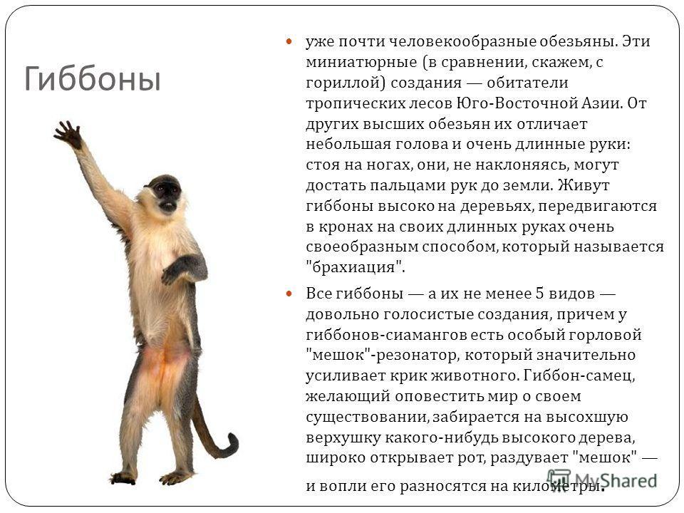 Гиббоны уже почти человекообразные обезьяны. Эти миниатюрные ( в сравнении, скажем, с гориллой ) создания обитатели тропических лесов Юго - Восточной Азии. От других высших обезьян их отличает небольшая голова и очень длинные руки : стоя на ногах, он