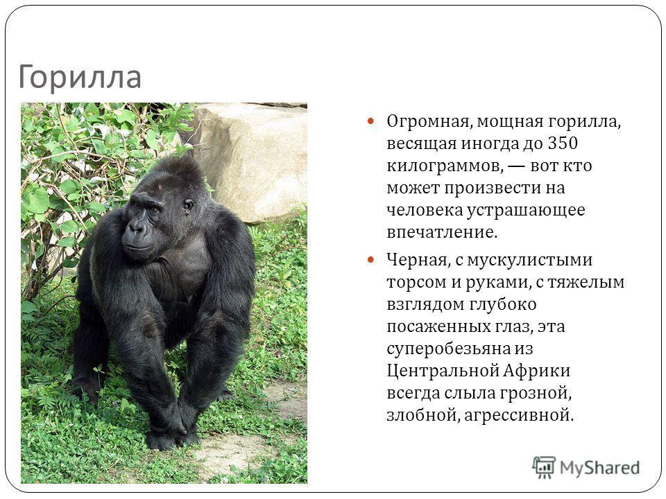 Горилла Огромная, мощная горилла, весящая иногда до 350 килограммов, вот кто может произвести на человека устрашающее впечатление. Черная, с мускулистыми торсом и руками, с тяжелым взглядом глубоко посаженных глаз, эта суперобезьяна из Центральной Аф