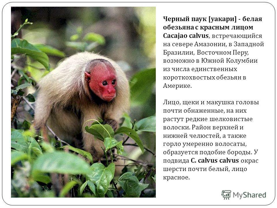 Черный паук [уакари] - белая обезьяна с красным лицом Cacajao calvus, встречающийся на севере Амазонии, в Западной Бразилии, Восточном Перу, возможно в Южной Колумбии из числа единственных короткохвостых обезьян в Америке. Лицо, щеки и макушка головы