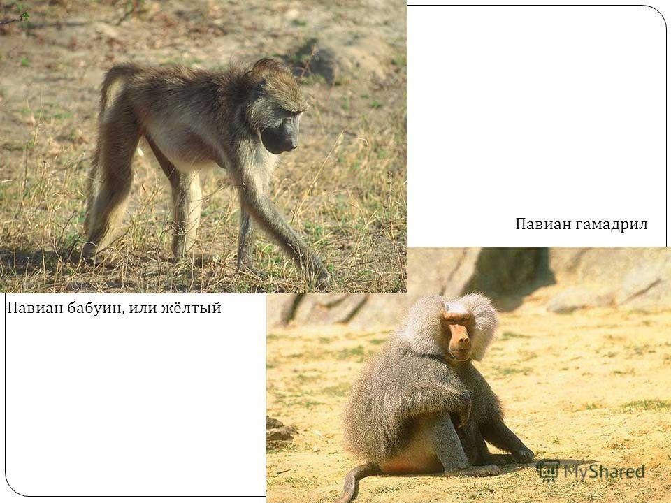 Павиан бабуин, или жёлтый Павиан гамадрил