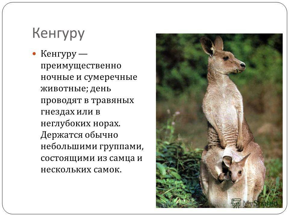 Кенгуру Кенгуру преимущественно ночные и сумеречные животные ; день проводят в травяных гнездах или в неглубоких норах. Держатся обычно небольшими группами, состоящими из самца и нескольких самок.