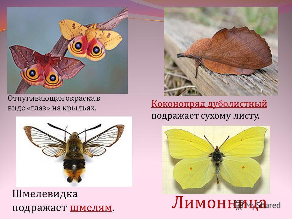 Шмелевидка подражает шмелям. Отпугивающая окраска в виде «глаз» на крыльях. Коконопряд дуболистный подражает сухому листу. Лимонница