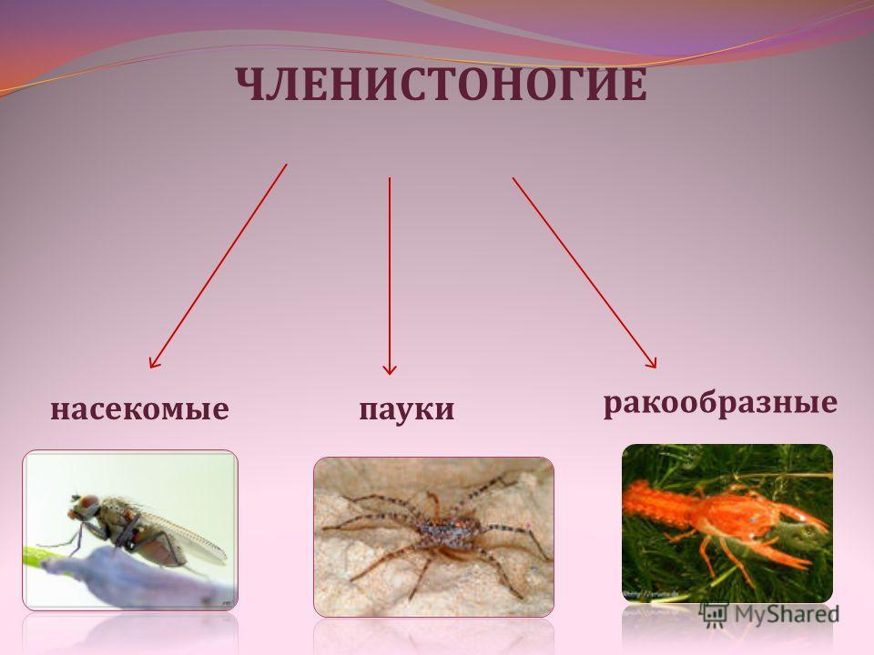 ЧЛЕНИСТОНОГИЕ насекомые пауки ракообразные