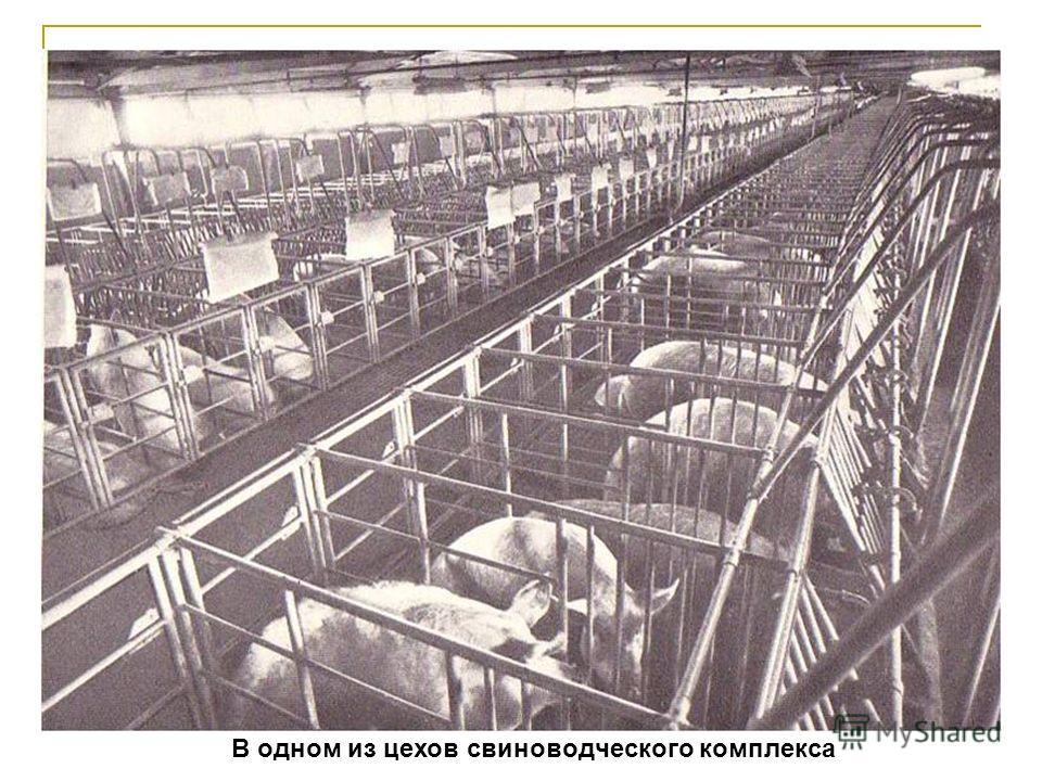 В одном из цехов свиноводческого комплекса