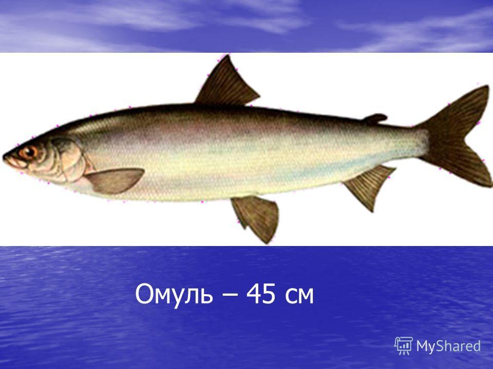 Омуль – 45 см