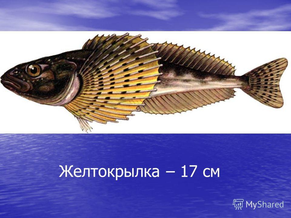 Желтокрылка – 17 см