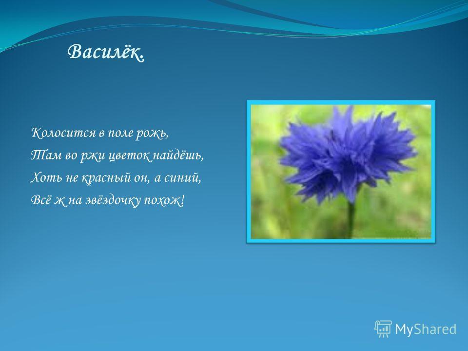 Василёк. Колосится в поле рожь, Там во ржи цветок найдёшь, Хоть не красный он, а синий, Всё ж на звёздочку похож!
