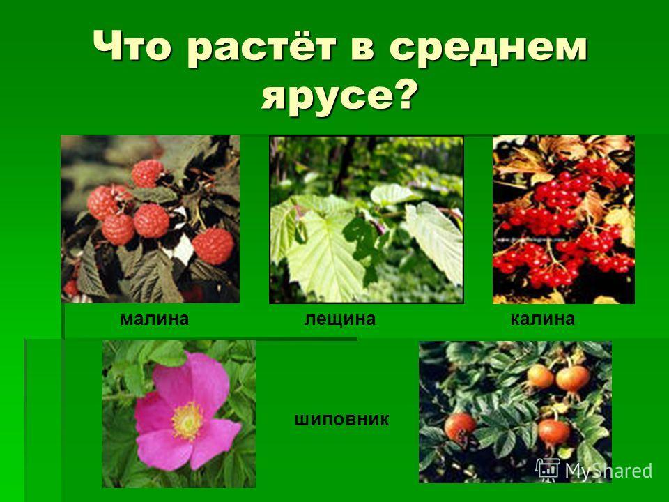 Что растёт в среднем ярусе? малина шиповник лещинакалина