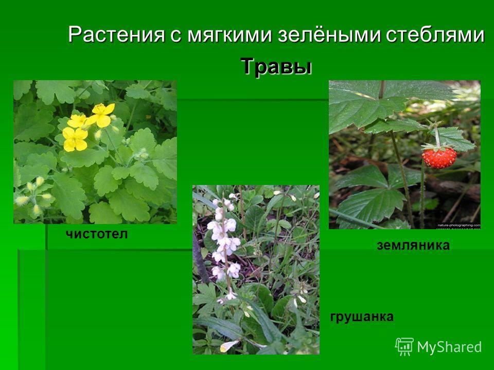 Растения с мягкими зелёными стеблями Травы чистотел земляника грушанка