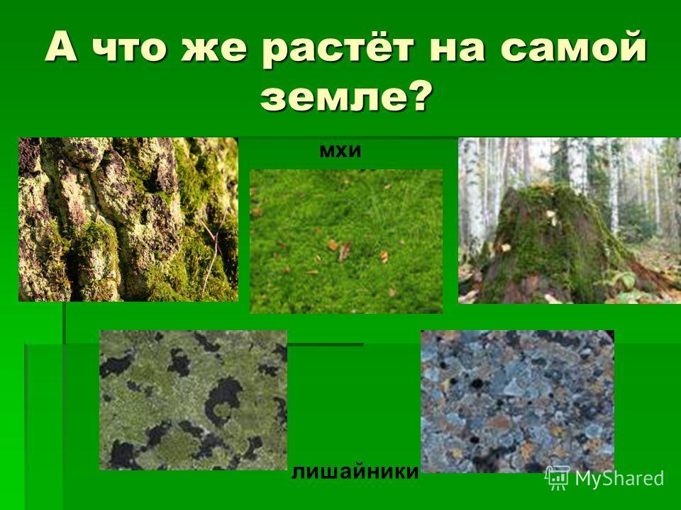 А что же растёт на самой земле? лишайники мхи