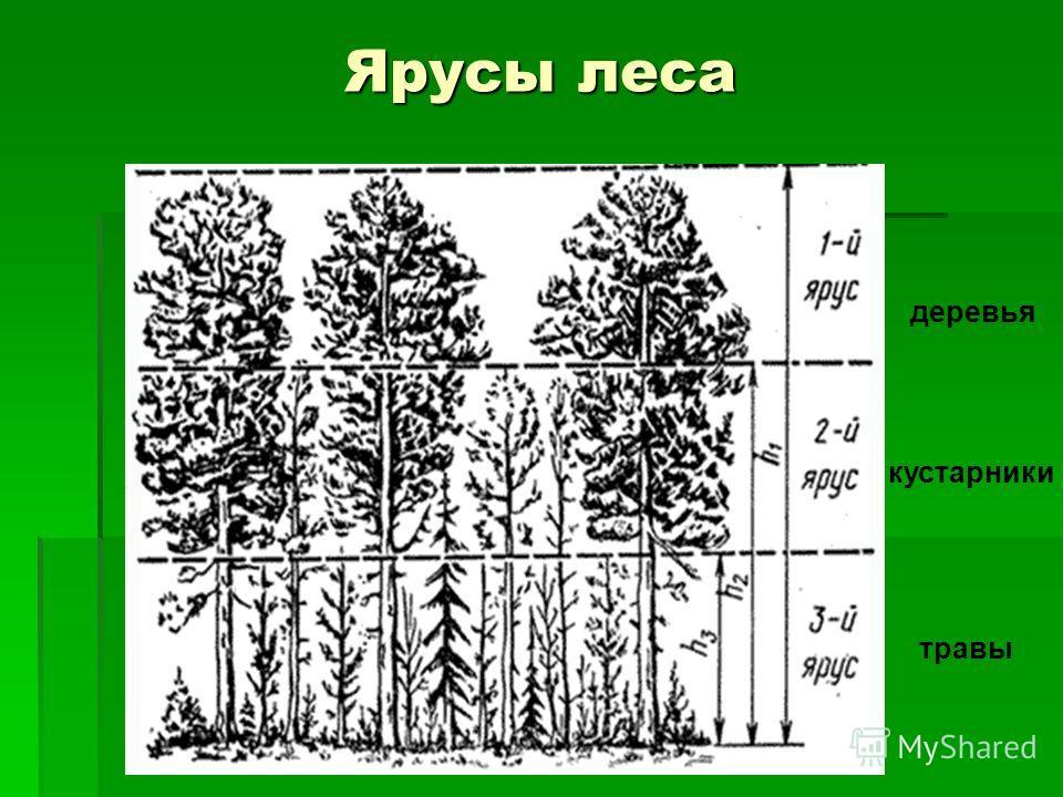 Ярусы леса деревья кустарники травы