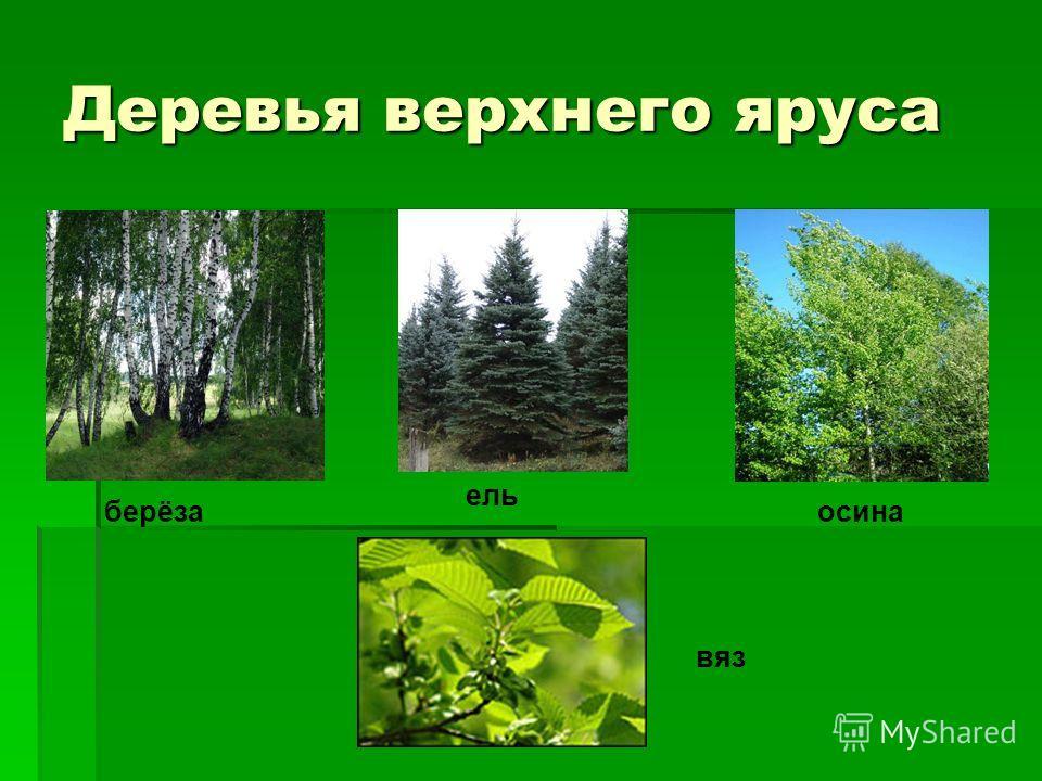 Деревья верхнего яруса берёза ель осина вяз