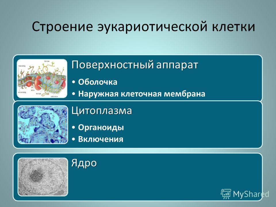 Строение эукариотической клетки Поверхностный аппарат Оболочка Наружная клеточная мембрана Цитоплазма Органоиды Включения Ядро