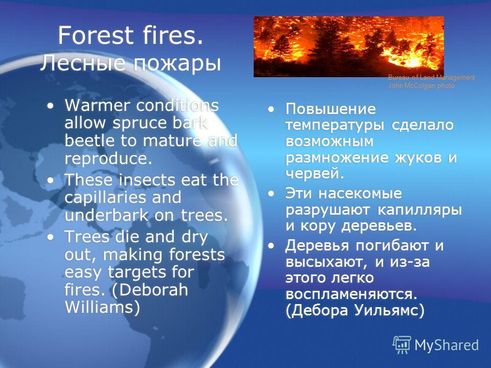 Forest fires. Лесные пожары Warmer conditions allow spruce bark beetle to mature and reproduce. These insects eat the capillaries and underbark on trees. Trees die and dry out, making forests easy targets for fires. (Deborah Williams) Warmer conditio