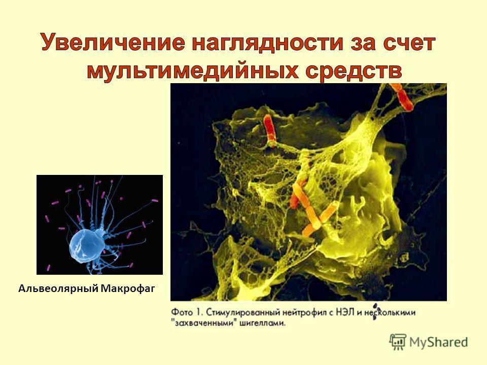 Альвеолярный Макрофаг