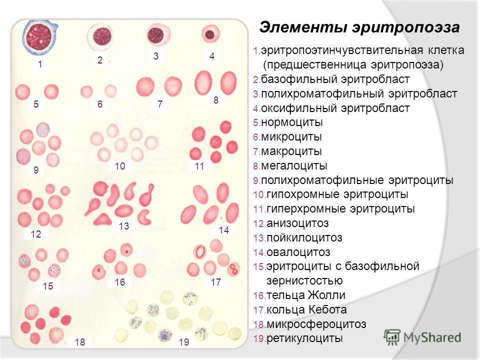 Элементы эритропоэза 1. эритропоэтинчувствительная клетка (предшественница эритропоэза) 2. базофильный эритробласт 3. полихроматофильный эритробласт 4. оксифильный эритробласт 5. нормоциты 6. микроциты 7. макроциты 8. мегалоциты 9. полихроматофильные