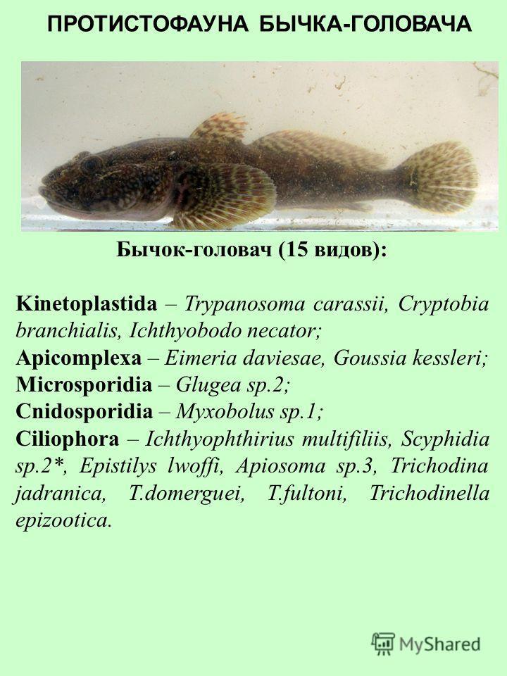 Бычок-песочник (15 видов): Kinetoplastida – Cryptobia branchialis; Apicomplexa – Eimeria daviesae, G.kessleri, G.szekely; Cnidosporidia – Sphaeromyxa sp., Myxidium macrocapsulare, Myxobolus sp.3; Ciliophora – Ichthyophthirius multifiliis, Epistylis l