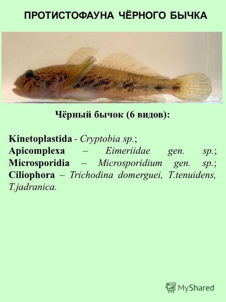 Пуголовка (10 видов): Kinetoplastida - Cryptobia branchialis; Apicomplexa – Eimeria sp.5; Cnidosporidia - Myxidium benthophili, Myxidium sp.2*, Myxobolus sp.4; Ciliophora - Epistilys lwoffi, Trichodina domerguei, T.jadranica, T.pediculus, Trichodina