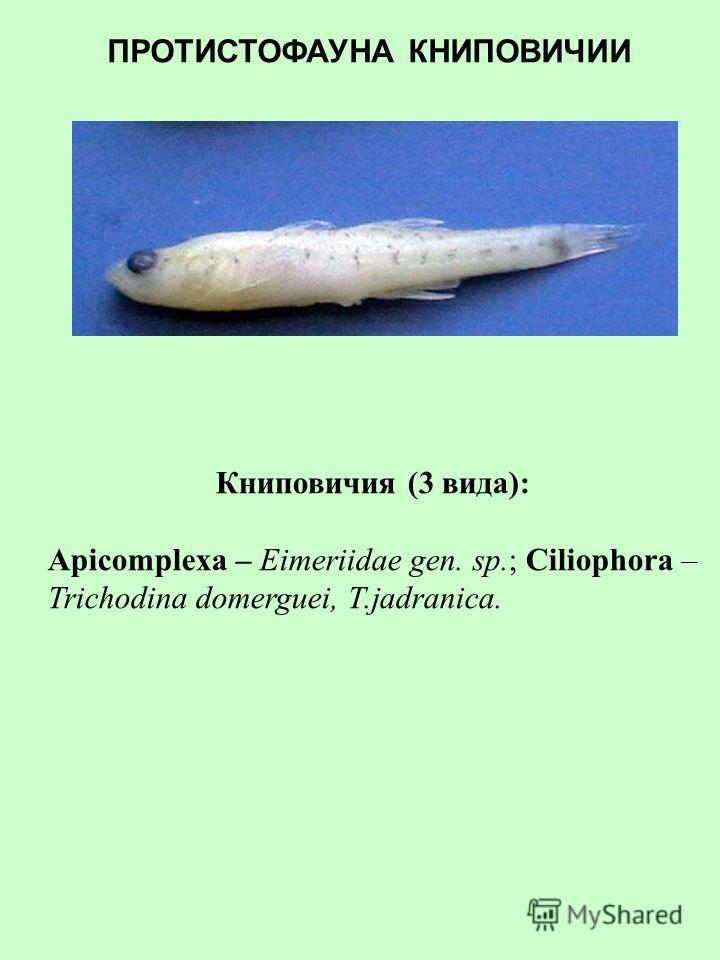 Бычок-кнут (4 вида): Apicomplexa – Eimeriidae gen. sp.; Ciliophora - Scyphidia sp.2, Trichodina domerguei, T.jadranica. ПРОТИСТОФАУНА БЫЧКА-КНУТА