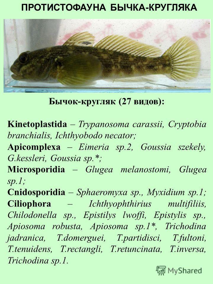 ПРОТИСТОФАУНА БЫЧКА-ЦУЦИКА Бычок-цуцик (29 видов): Kinetoplastida – Trypanosoma carassii, Cryptobia branchialis, Ichthyobodo necator; Apicomplexa – Eimeria credintsi, E.marmorata, Eimeria sp.1*; Cnidosporidia – Sphaeromyxa sp., Myxobolus sp.1, Theloh