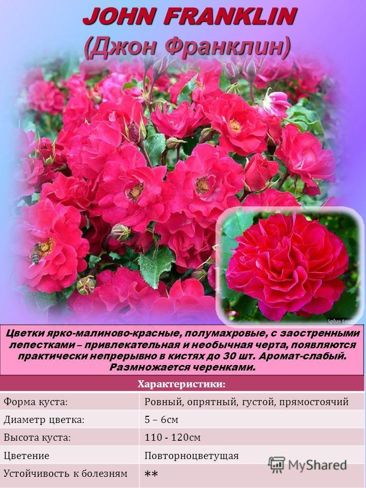 Характеристики: Форма куста:Ровный, опрятный, густой, прямостоячий Диаметр цветка:5 – 6см Высота куста:110 - 120см ЦветениеПовторноцветущая Устойчивость к болезням ** JOHN FRANKLIN (Джон Франклин) Цветки ярко-малиново-красные, полумахровые, с заостре