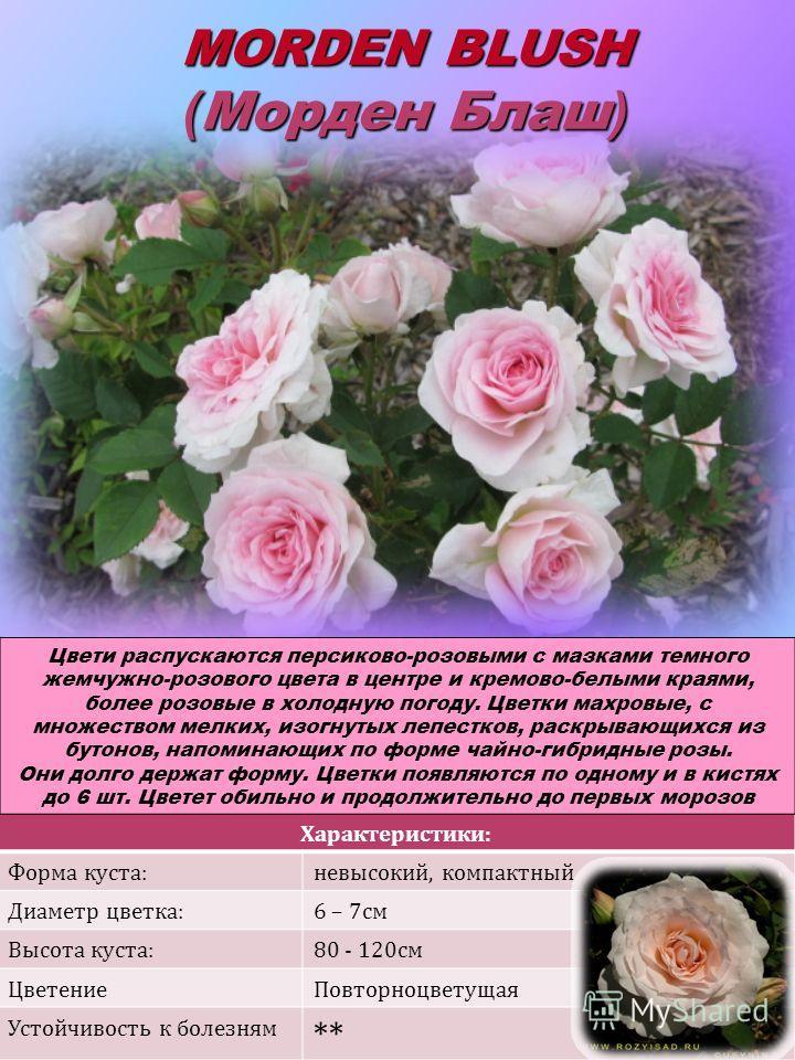 Характеристики: Форма куста:невысокий, компактный Диаметр цветка:6 – 7см Высота куста:80 - 120см ЦветениеПовторноцветущая Устойчивость к болезням ** MORDEN BLUSH ( Морден Блаш ) Цвети распускаются персиково-розовыми с мазками темного жемчужно-розовог