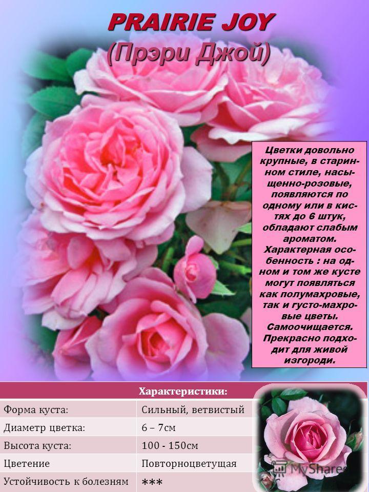 Характеристики: Форма куста:Сильный, ветвистый Диаметр цветка:6 – 7см Высота куста:100 - 150см ЦветениеПовторноцветущая Устойчивость к болезням *** PRAIRIE JOY (Прэри Джой) Цветки довольно крупные, в старин- ном стиле, насы- щенно-розовые, появляются