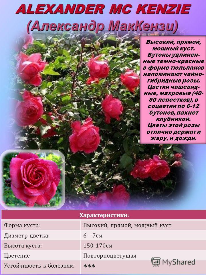 Характеристики: Форма куста:Высокий, прямой, мощный куст Диаметр цветка:6 – 7см Высота куста:150-170см ЦветениеПовторноцветущая Устойчивость к болезням *** ALEXANDER MC KENZIE (Александр МакКензи)