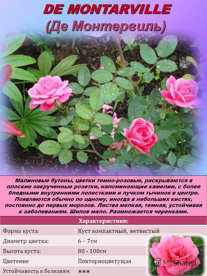 Характеристики: Форма куста:Куст компактный, ветвистый Диаметр цветка:6 – 7см Высота куста:80 - 100см ЦветениеПовторноцветущая Устойчивость к болезням *** DE MONTARVILLE (Де Монтервиль) Малиновые бутоны, цветки темно-розовые, раскрываются в плоские з