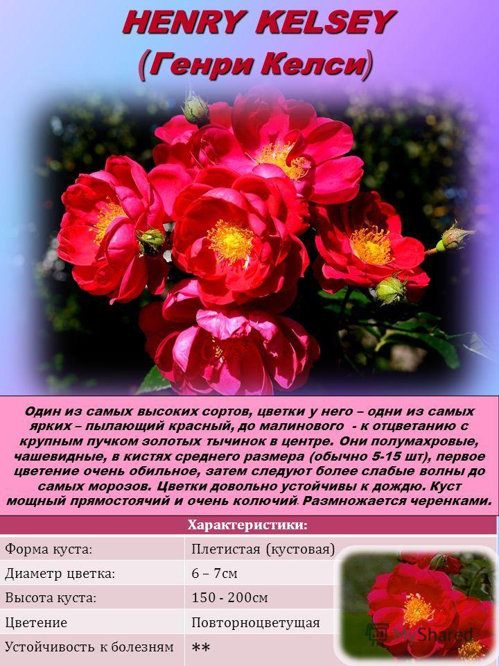 Характеристики: Форма куста:Плетистая (кустовая) Диаметр цветка:6 – 7см Высота куста:150 - 200см ЦветениеПовторноцветущая Устойчивость к болезням ** HENRY KELSEY ( Генри Келси ) Один из самых высоких сортов, цветки у него – одни из самых ярких – пыла