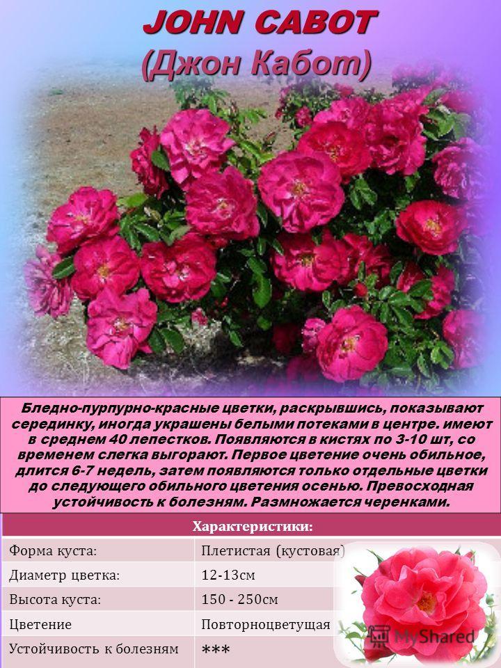 Характеристики: Форма куста:Плетистая (кустовая) Диаметр цветка:12-13см Высота куста:150 - 250см ЦветениеПовторноцветущая Устойчивость к болезням *** JOHN CABOT (Джон Кабот) Бледно-пурпурно-красные цветки, раскрывшись, показывают серединку, иногда ук