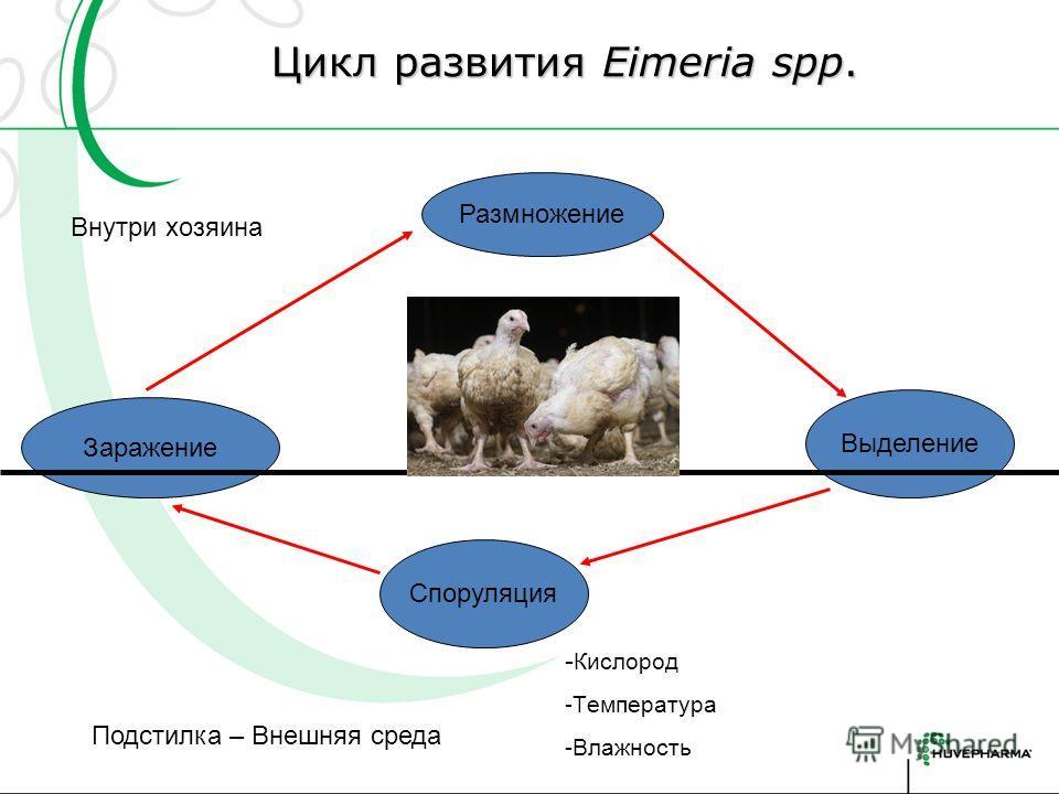 Цикл развития Eimeria spp. Цикл развития Eimeria spp. Заражение Размножение Выделение Споруляция Подстилка – Внешняя среда Внутри хозяина - Кислород -Tемпература -Влажность
