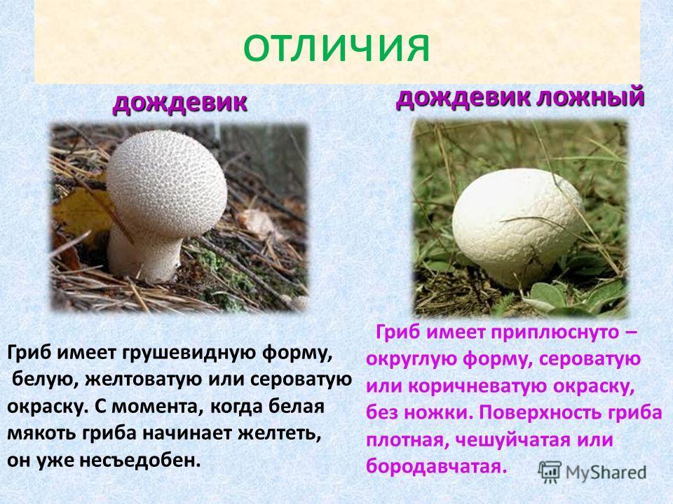 отличия дождевик дождевик дождевик ложный Гриб имеет грушевидную форму, белую, желтоватую или сероватую окраску. С момента, когда белая мякоть гриба начинает желтеть, он уже несъедобен. Гриб имеет приплюснуто – округлую форму, сероватую или коричнева
