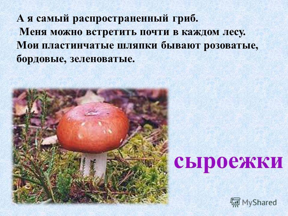 А я самый распространенный гриб. Меня можно встретить почти в каждом лесу. Мои пластинчатые шляпки бывают розоватые, бордовые, зеленоватые. сыроежки