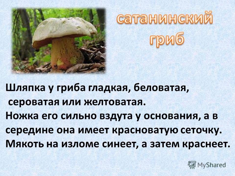 Шляпка у гриба гладкая, беловатая, сероватая или желтоватая. Ножка его сильно вздута у основания, а в середине она имеет красноватую сеточку. Мякоть на изломе синеет, а затем краснеет.