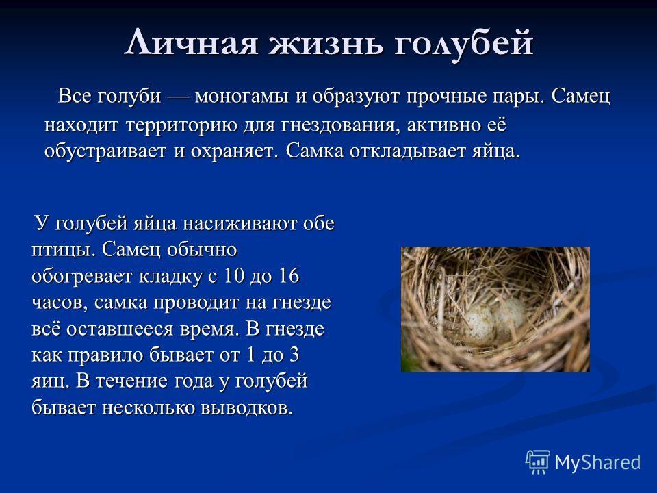 Личная жизнь голубей Все голуби моногамы и образуют прочные пары. Самец находит территорию для гнездования, активно её обустраивает и охраняет. Самка откладывает яйца. Все голуби моногамы и образуют прочные пары. Самец находит территорию для гнездова