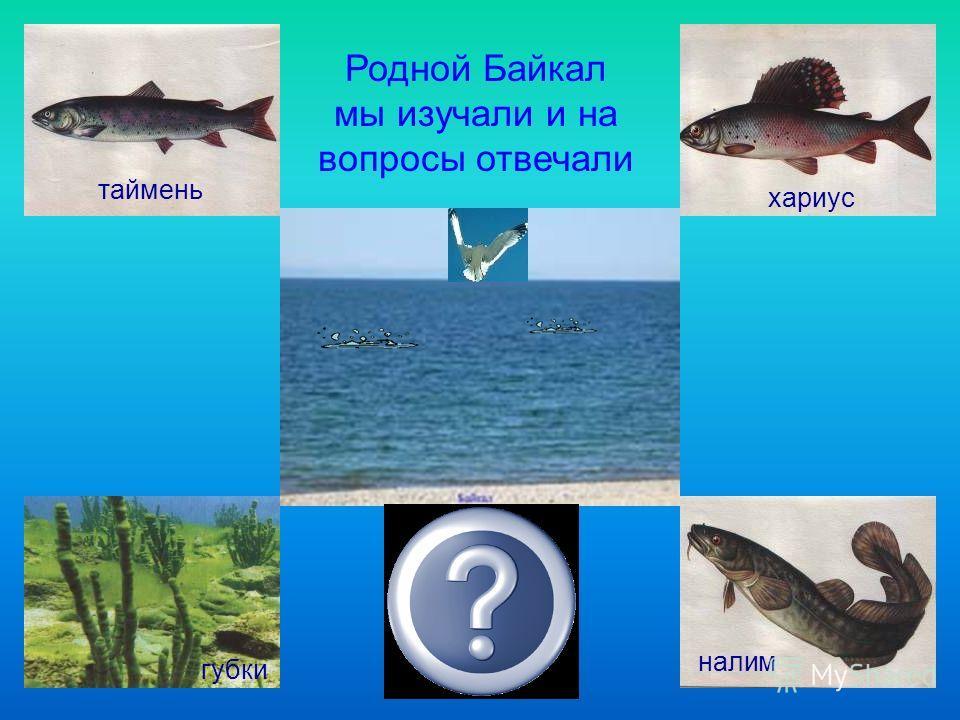 Родной Байкал мы изучали и на вопросы отвечали таймень налим губки хариус