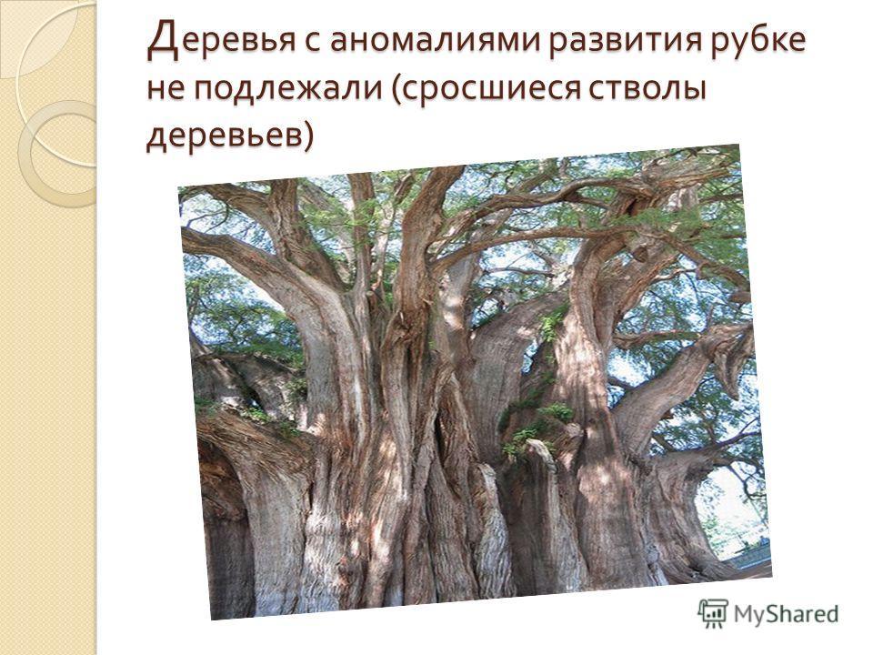 Д еревья с аномалиями развития рубке не подлежали ( сросшиеся стволы деревьев )