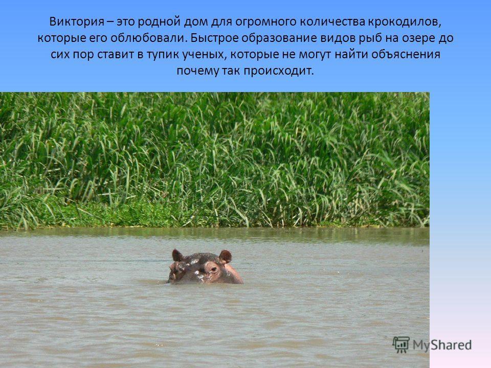 Виктория – это родной дом для огромного количества крокодилов, которые его облюбовали. Быстрое образование видов рыб на озере до сих пор ставит в тупик ученых, которые не могут найти объяснения почему так происходит.