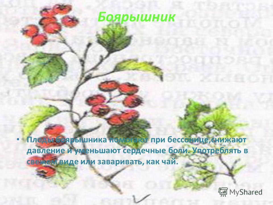 Боярышник Плоды боярышника помогают при бессонице,снижают давление и уменьшают сердечные боли. Употреблять в свежем виде или заваривать, как чай.
