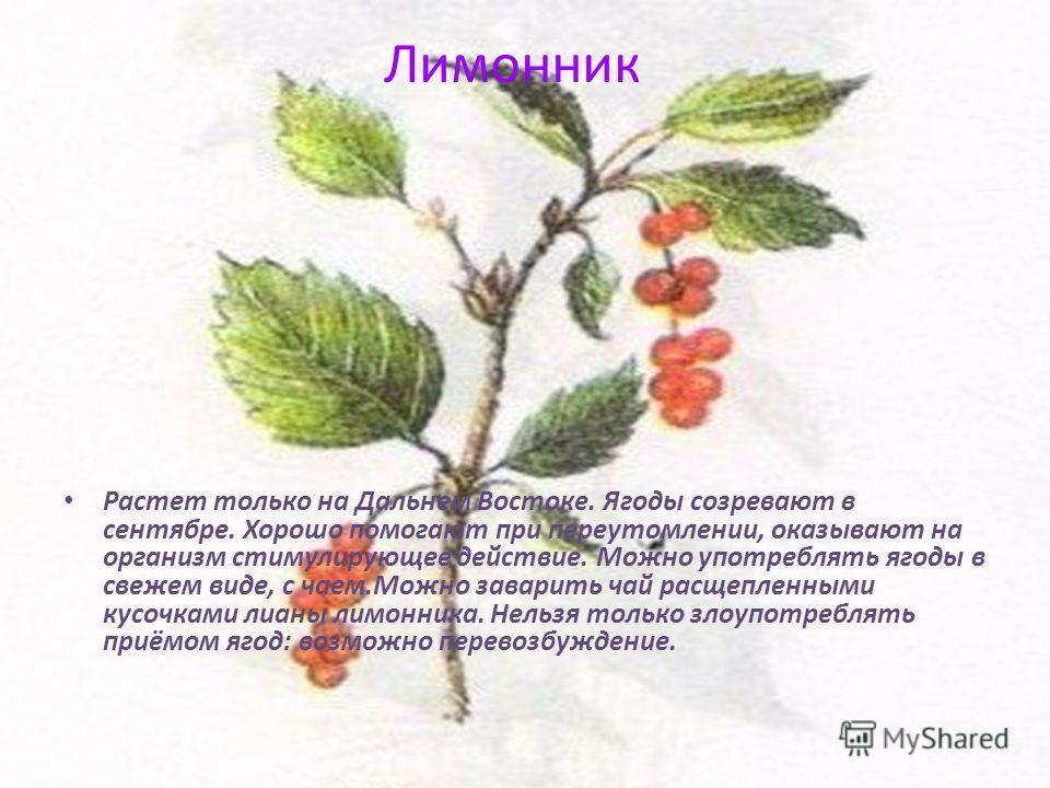 Лимонник Растет только на Дальнем Востоке. Ягоды созревают в сентябре. Хорошо помогают при переутомлении, оказывают на организм стимулирующее действие. Можно употреблять ягоды в свежем виде, с чаем.Можно заварить чай расщепленными кусочками лианы лим