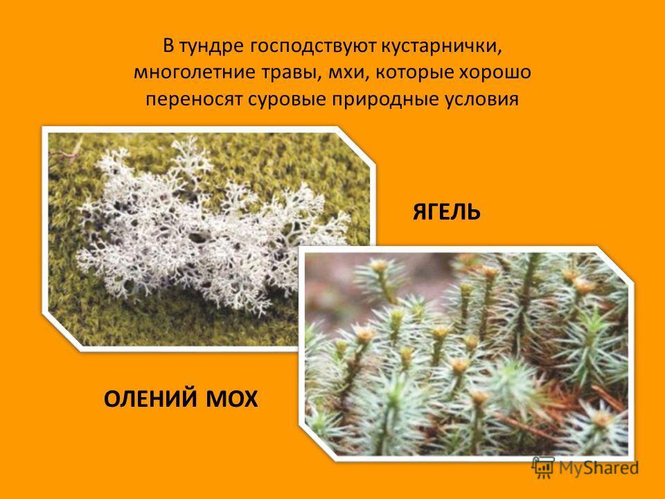 В тундре господствуют кустарнички, многолетние травы, мхи, которые хорошо переносят суровые природные условия ОЛЕНИЙ МОХ ЯГЕЛЬ