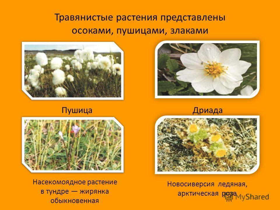 Травянистые растения представлены осоками, пушицами, злаками ПушицаДриада Насекомоядное растение в тундре жирянка обыкновенная Новосиверсия ледяная, арктическая роза